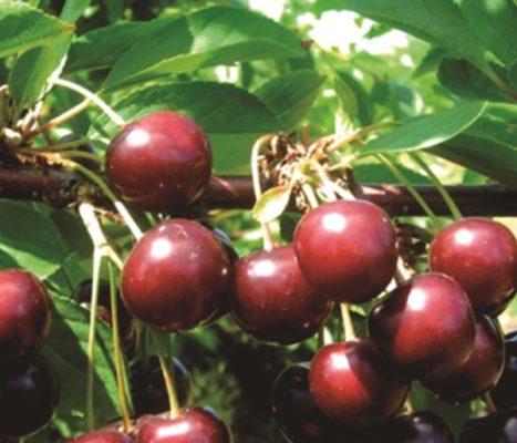 Ягоды вишни сорта Тамарис