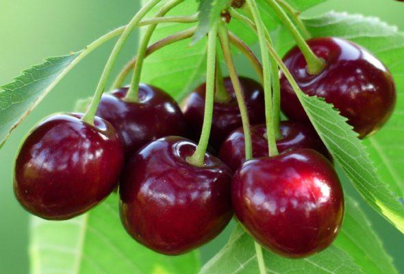 Ягоды вишни сорта Русинка