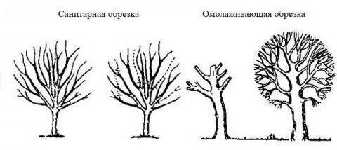 Рисунок разновидностей обрезки деревьев