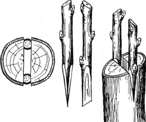 Рисунок прививки в расщеп