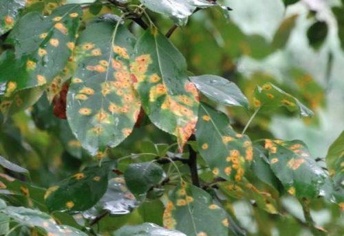 Листья вишни, поражённые коккомикозом