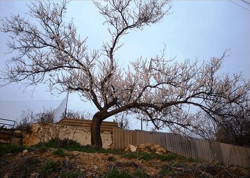 Старое дерево абрикоса
