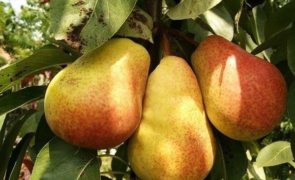 Плоды груши сорта Дюшес на ветке
