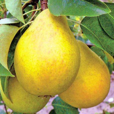 Плоды груши Дюшес летний