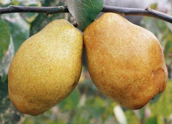 Плоды груши Дюшес зимний