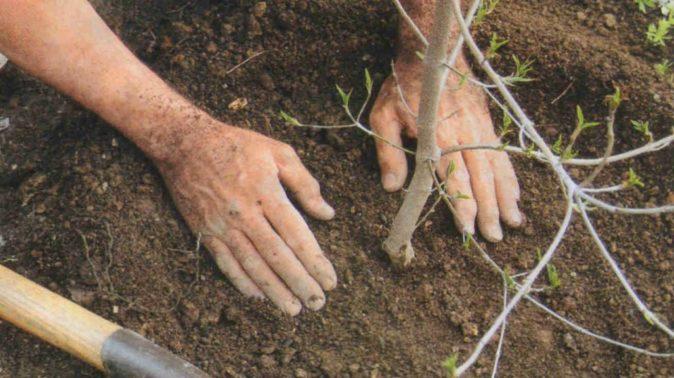 Руки мужчины, который утрамбовывает землю вокруг саженца