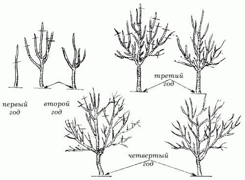 Рисунок обрезки дерева