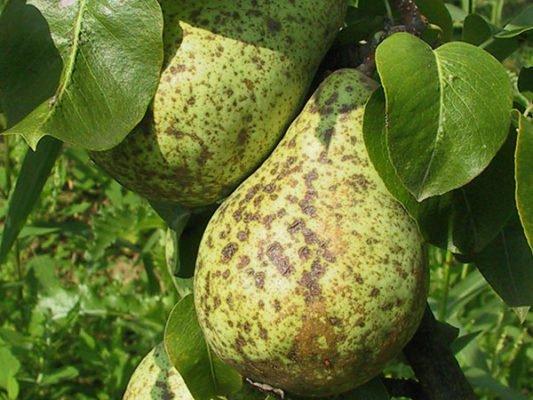 Плоды груши, поражённые паршой