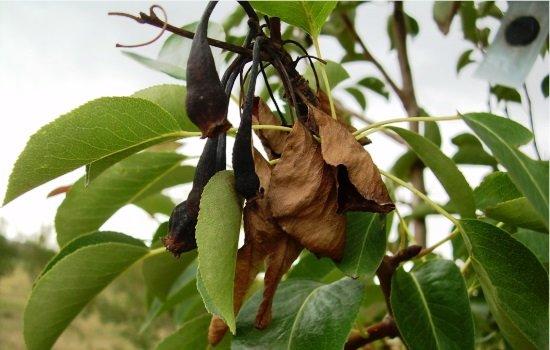 Листья и плоды груши, поражённые бактериальным ожогом