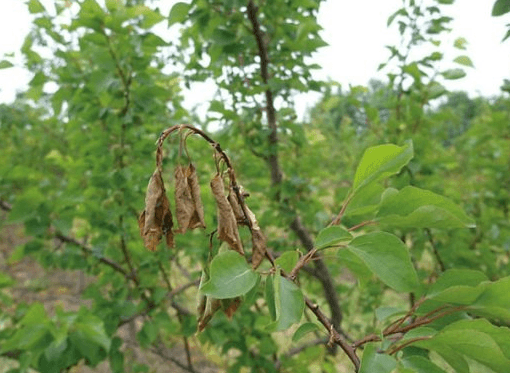 Побег абрикоса, поражённый монилиозом