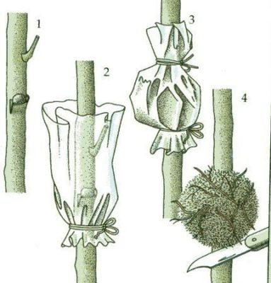 Рисунок размножения воздушными отводками