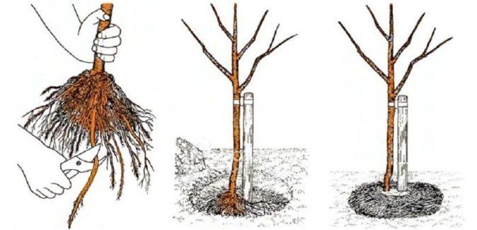 Абрикос триумф северный посадка и уход в открытом грунте