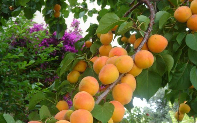 Плоды абрикоса Чемпион Севера