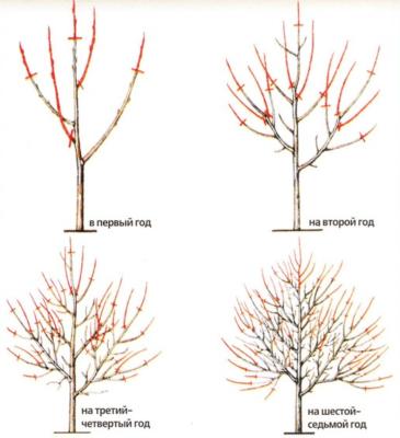 Схема формировки абрикоса