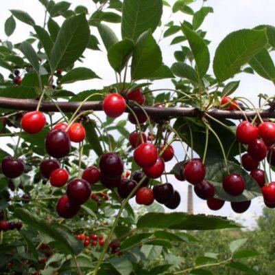 Плоды вишни Морозовка