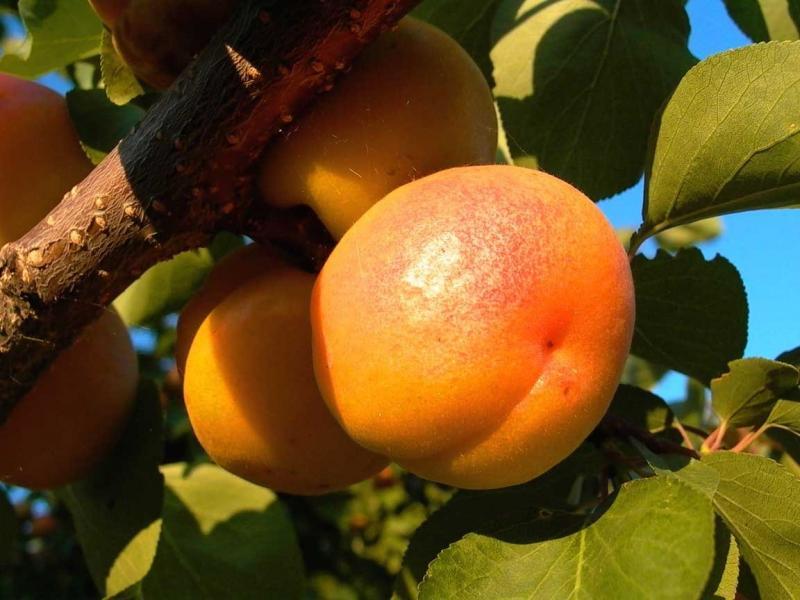 Сорта абрикоса для Ленинградской области описание посадка и уход с фото