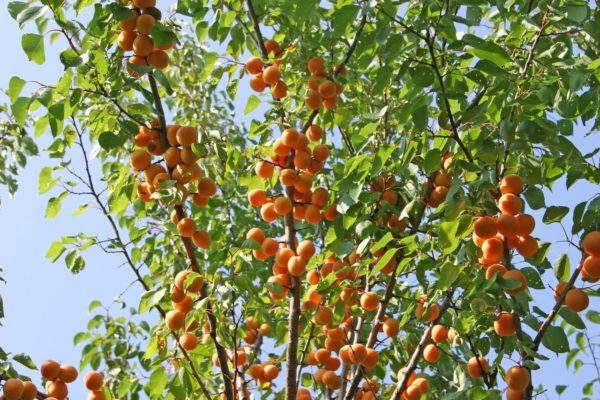 Взрослое дерево абрикоса с плодами