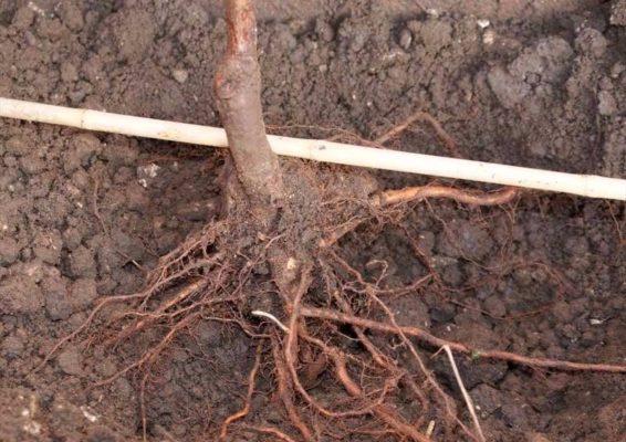 Посадка саженца с расправленными корнями