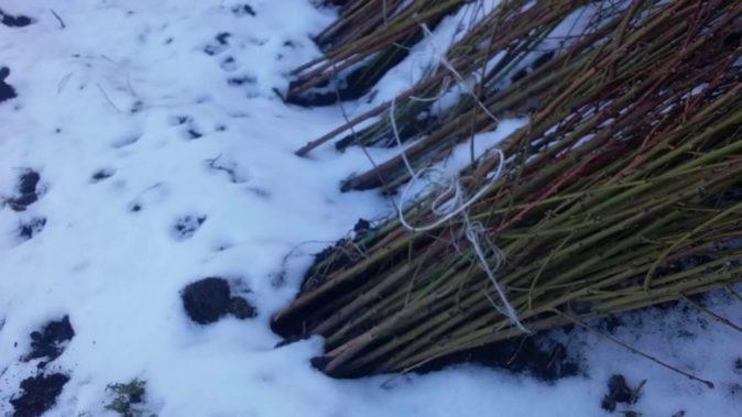 Укладывание саженцев на зиму