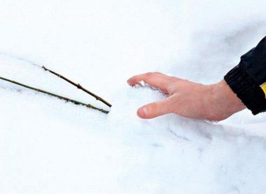 Саженцы, укрытые на зиму