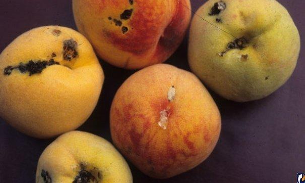 Персики, поражённые восточной плодожоркой