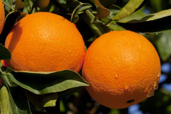 Плоды апельсинового дерева