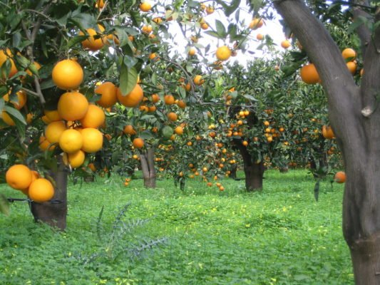 Апельсиновая плантация