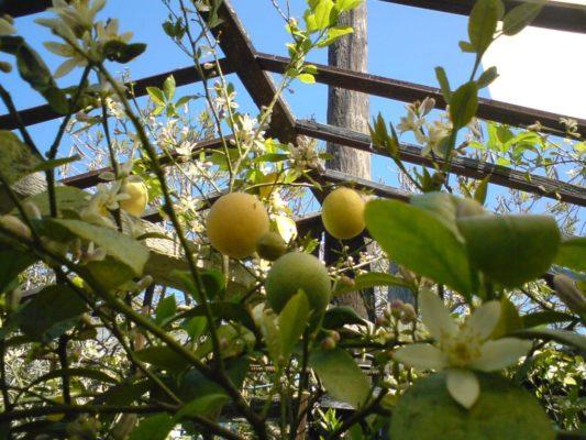 Защита апельсиновых деревьев в траншее