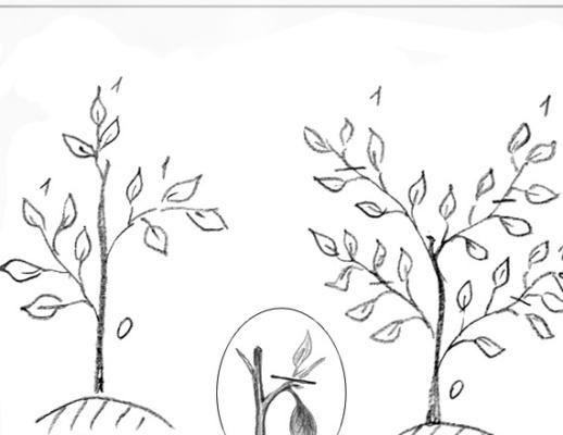 Обрезка цитрусовых