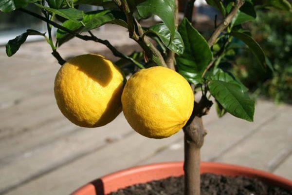 Апельсин сорта Павловский