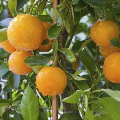 Апельсин сорта Гамлин