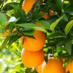 Сорт апельсина Салустиана