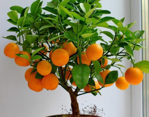 Апельсин сорта Тровита