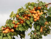 сажать абрикос