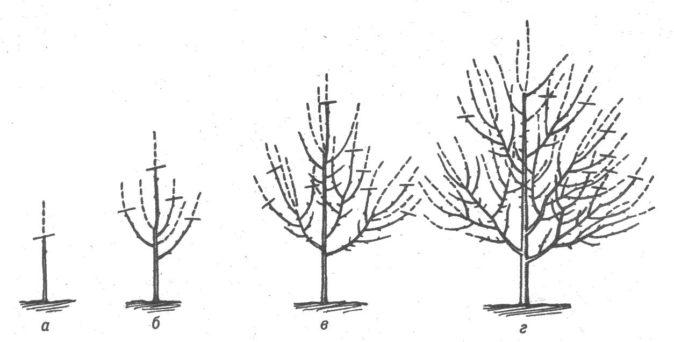 Рисунок формирования кроны дерева