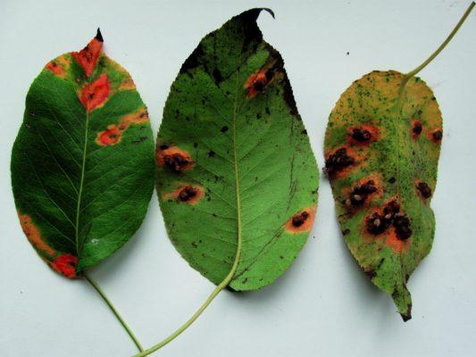 Листья, поражённые клястероспориозом