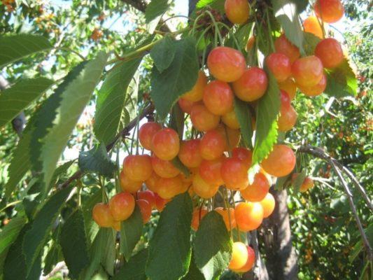 дерево сорта Приусадебная желтая