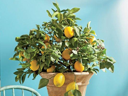 лимонное дерево на столе