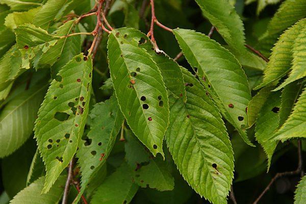 Листья черешни, поражённые клястероспориозом