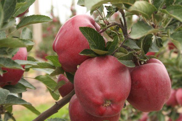 Яблоки Gloster