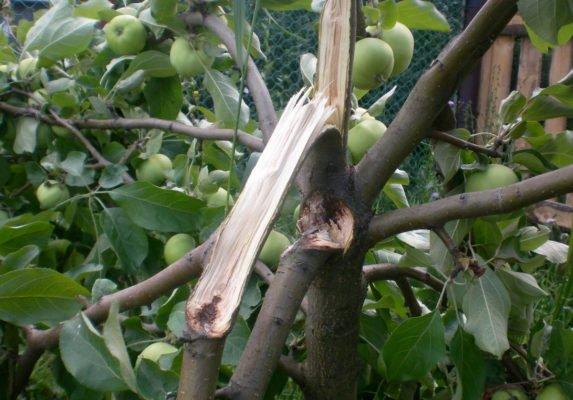 Яблоня разломилась
