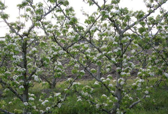 Цветут яблони на шпалере