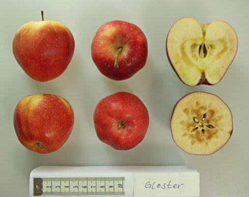 Яблоки Gloster в разрезе