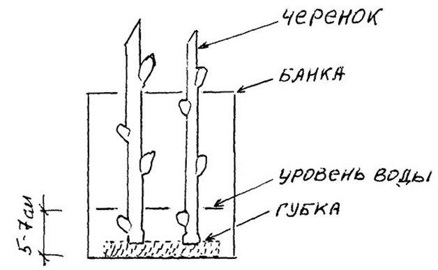 Схема укоренения черенка