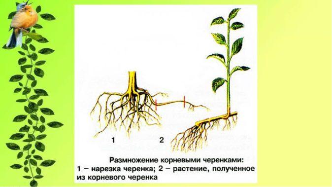 Схема размножения корневыми черенками