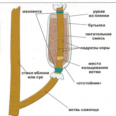 Схема укоренения воздушного отводка