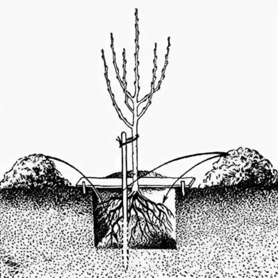 Посадка дерева — схема