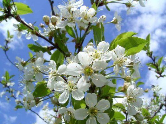 Цветёт вишня