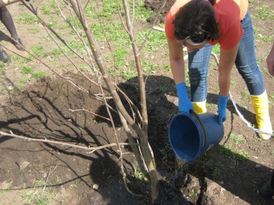 Полив дерева при посадке