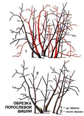 Обрезка порослевой вишни
